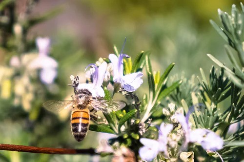 abeille miel romarin