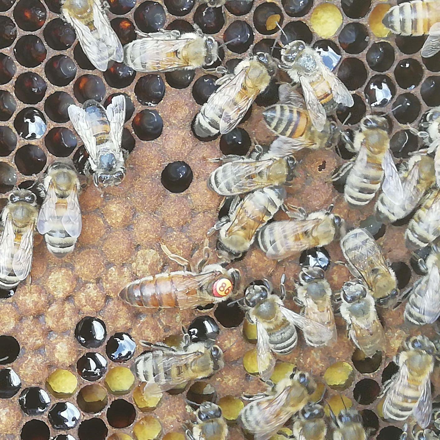 reine abeille élevage paul luttge ruchers clauzeille